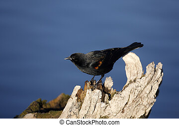 Red-winged blackbird, Agelaius phoeniceus, New Mexico, USA,...