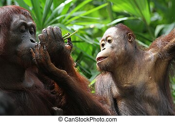 Orangutans - A wild life shot of orangutans in captivity