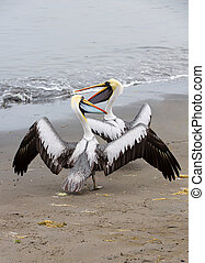 Pelicans on Ballestas Islands in Paracas National park....