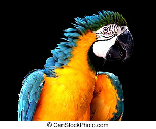 Blue and Yellow Macaw - Isolated on Black Background