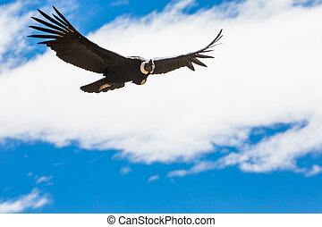 Flying condor over Colca canyon,Peru,South America. This is...