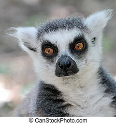 Lemur catta (maki) of Madagascar