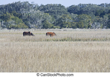 wild horses on salt marsh - wild horses grazing on a salt...