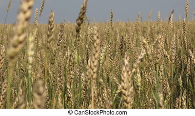 Ripe deal - Business people shaking hands among ripe wheat...