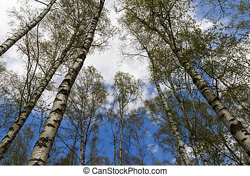 worm's-eye-view of a birch forest.