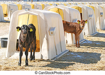 Young Dairy Calves - Young Jersey dairy calves in hutches.