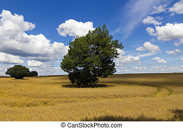 Oak in a field of rapeseed