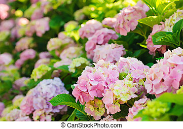 Hydrangea flowers - Many colorful hydrangea flowers growing...