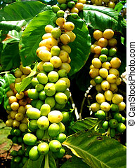 Coffee Beans - Coffee beans ripening in Kauai, Hawaii