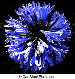 Circle of Agapanthus Flowers
