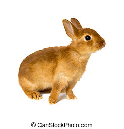bunny - little rabbit isolated on white