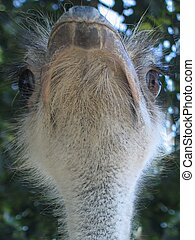 ostrich, face, feathery, funny face - ostrich, head,...
