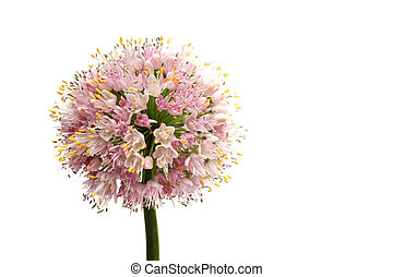 Onion flower - Flower head of an onion  on white background