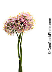 Onion flowers - Flowers head of an onion on white background...