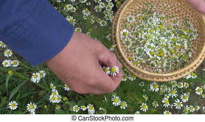 picking medical herb chamomile