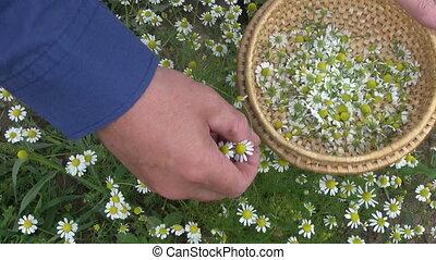 picking medical herb chamomile - picking fresh medical herb...