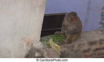 monkey eating fresh pea pods in India