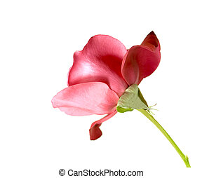 single red rose stem - red rose flower isolated on white...