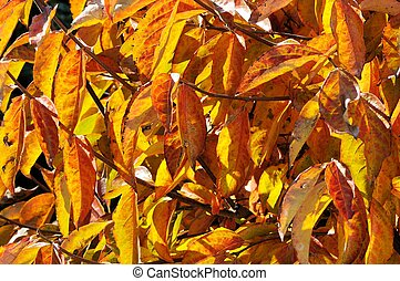 Persimmon tree Autumn leaves. - Autumn leaves on a Persimmon...