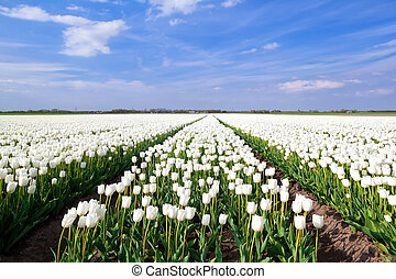 field of white tulips in North Holland - spring field of...