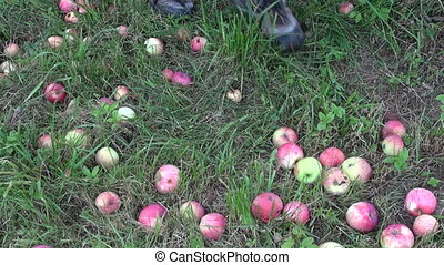 farmer harvesting fresh apples