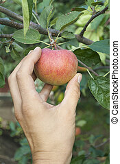 Hand goes to disrupt the apple from tree