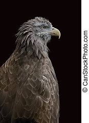 Isolated eagle - An sitting eagle portrait Isolated with...