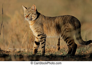 African wild cat - An African wild cat Felis silvestris...