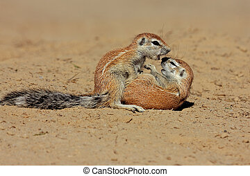Playing ground squirrels - Two young ground squirrels Xerus...
