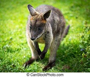 Beautiful agile wallaby