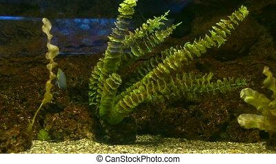 alga - seaweed sways in the water flow