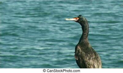 gannet - Cormorant sitting on rocks by the sea