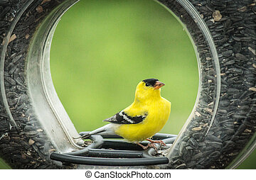 Male American Goldfinch on ring fee