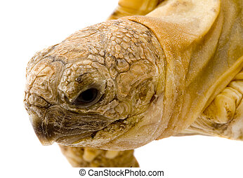 Geochelone Pardalis - detail of the head of a young tortoise...