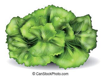 lettuce isolated on a white. 10 EPS