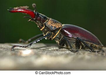 stag beetle (Lucanus cervus) perched on a stick