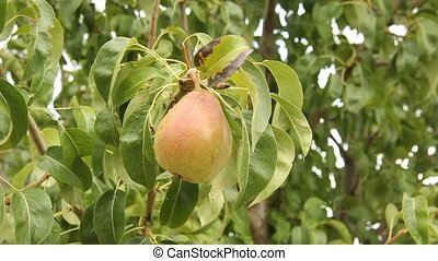 pear tree with ripe fruit outdoors