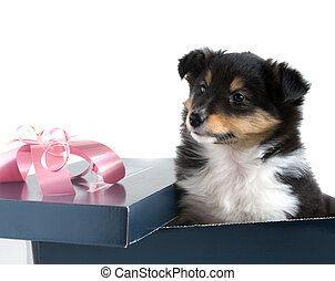 little puppy Sheltie in a gift box on a gray background