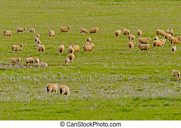 mammal - a mob of ewes and lambsstanding in a grass pasture