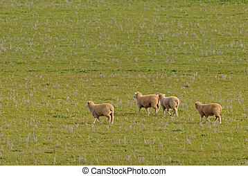 mammal - 4 young sheep walking in a grass pasture