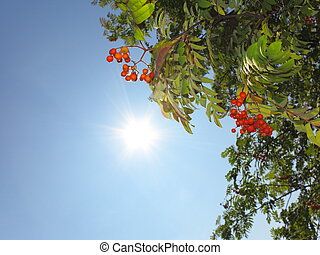 Autumn rowan berries ashberry. Sorbus aucuparia - Autumn red...
