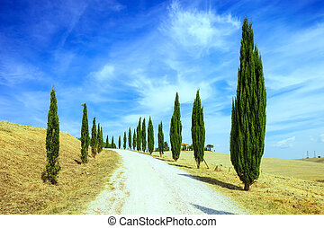 Cypress Trees rows and a white road rural landscape in val d...