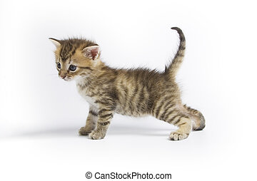 Kitten - Cute kitten on white background