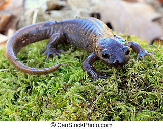Northwestern Salamander on Moss - A Northwestern Salamander...