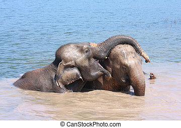 Elephant relationship - Two elephants show good relationship...