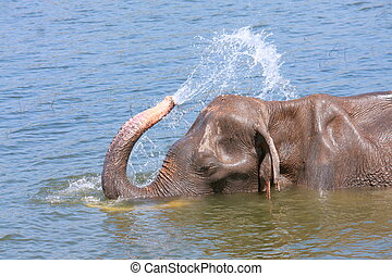 Elephant plays water