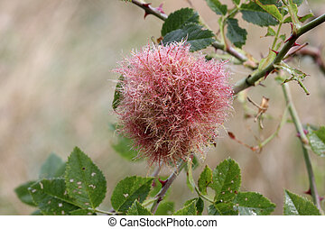 Robin's Pincushion or the Bedeguar gall, Diplolepis rosae,...
