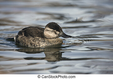 Ruddy duck, Oxyura jamaicensis, female, Arizona, USA, winter