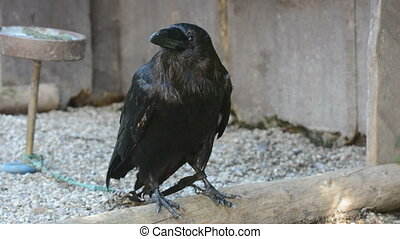 Raven (Corvus corax) - big black bird.