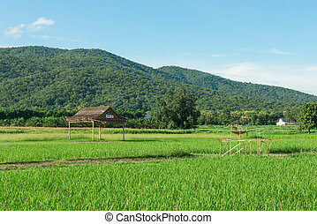 Paddy field and young rice tree against blue sky